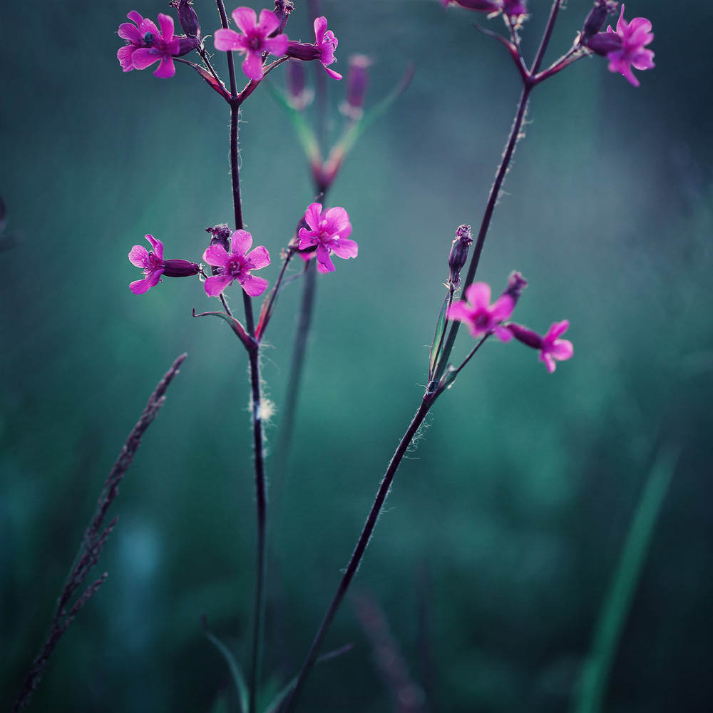 May Wild Beautiful Meadow Pink Flowers On Green Natural Background