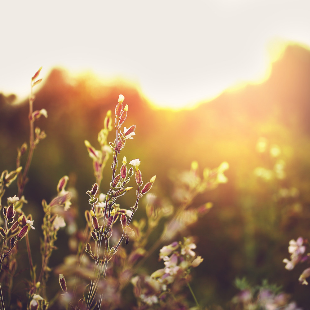 Meadow Wild White Flowers In Field At Sunrise Nature Vintage