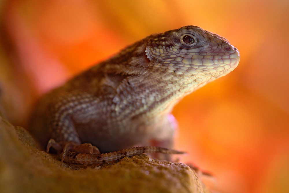 Northern Curly-tailed Lizard, Leiocephalus carinatus, detail eye portrait of exotic animal with orange clear background, this species is found on Cuba, the Cayman Islands, the Bahamas