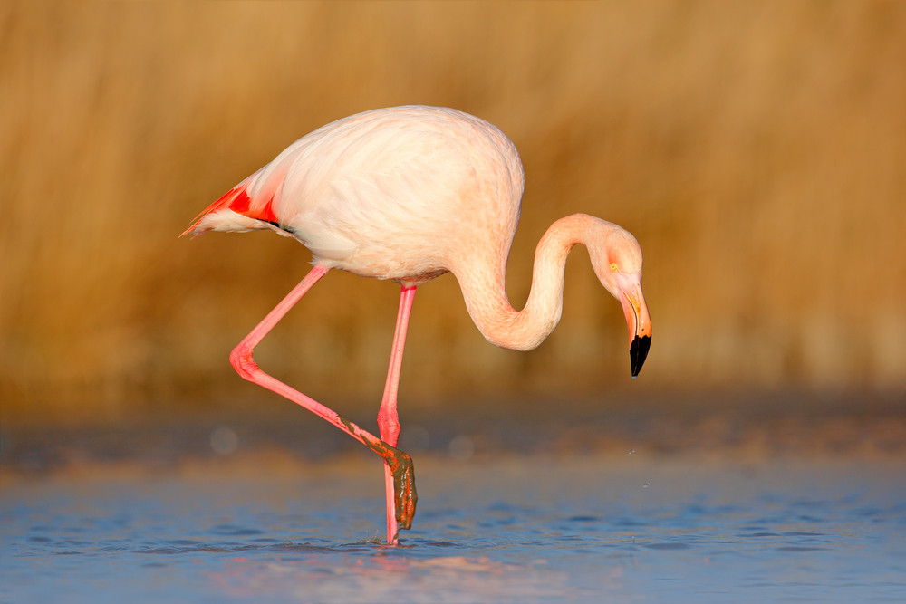 Pink big bird Greater Flamingo, Phoenicopterus ruber, in the water, Camargue, France. Flamingo cleaning plumage. Wildlife animal scene from nature. Flamingo in nature habitat. Beautiful water bird.