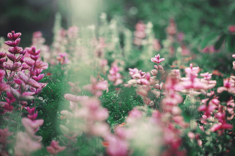 pink garden flowers. Nature vintage photo