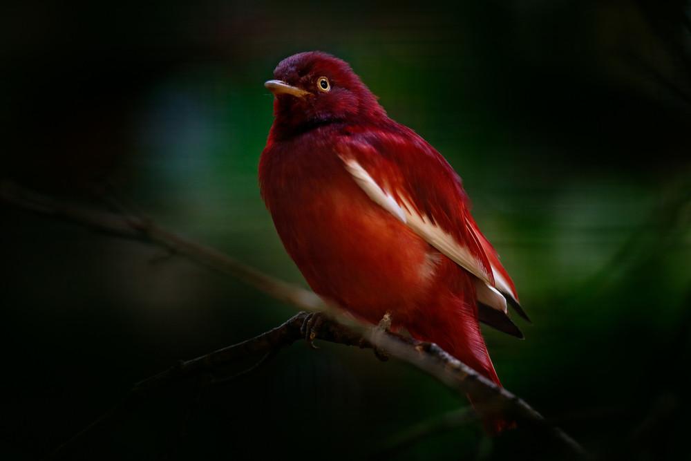 pompadour cotinga, Xipholena punicea, exotic rare tropic bird in the nature habitat, dark green forest, Amazon, Brazil. Wildlife scene from jungle. Dark red bird in dark green vegetation.