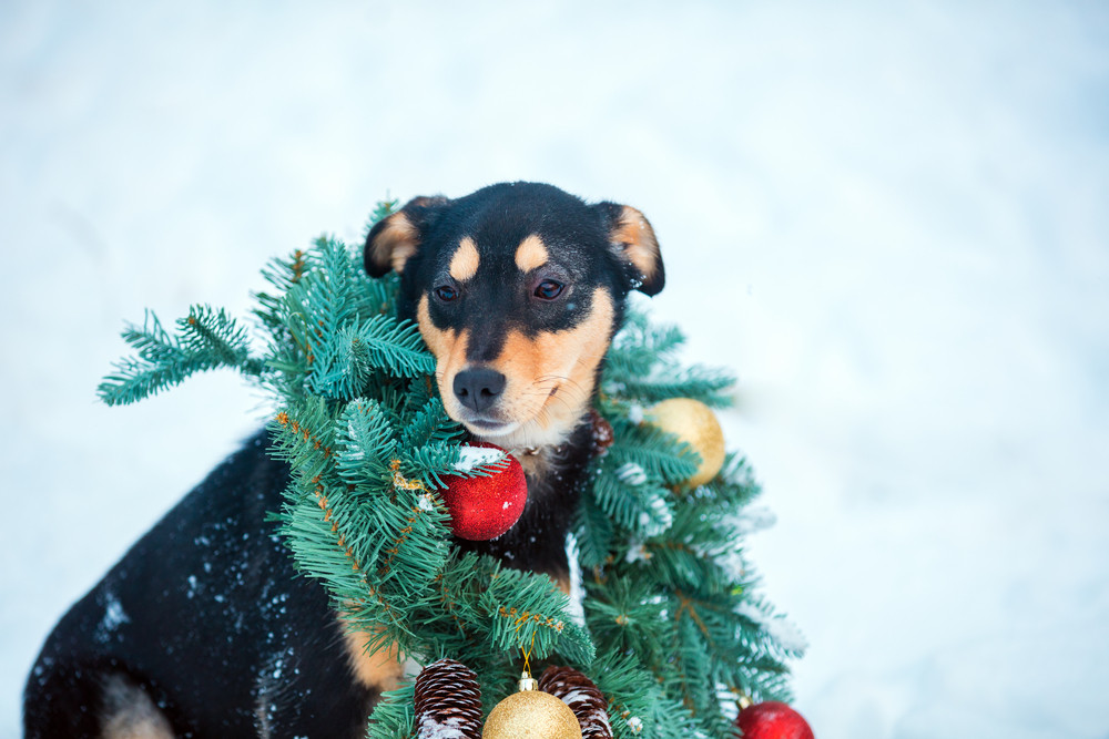 Portrait of a dog wearing christmas wreath sitting outdoor in snow