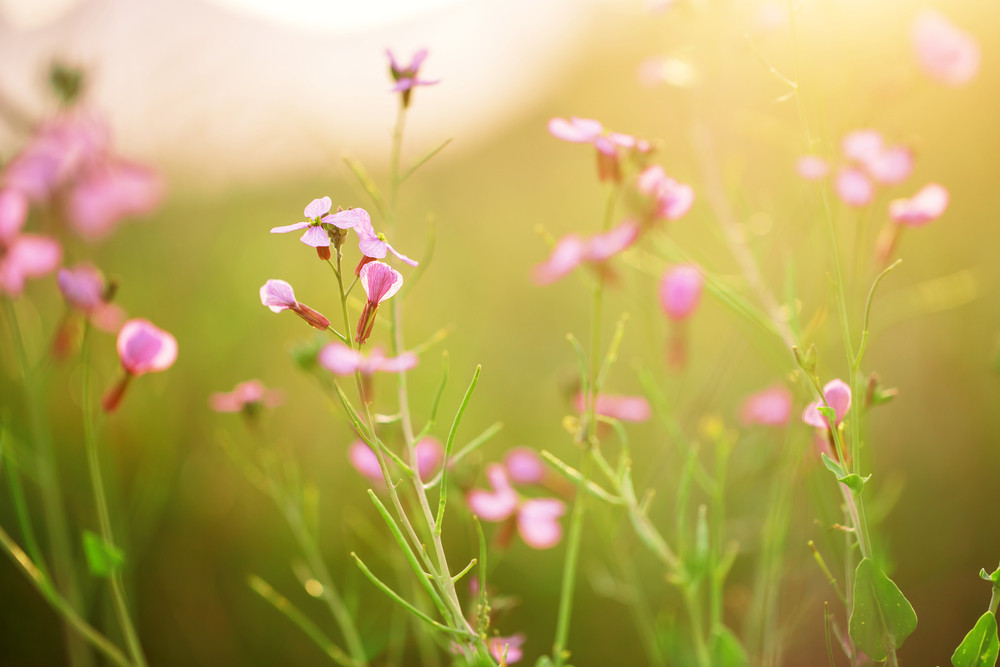 soft beautiful meadow wild pink flowers on natural green grass