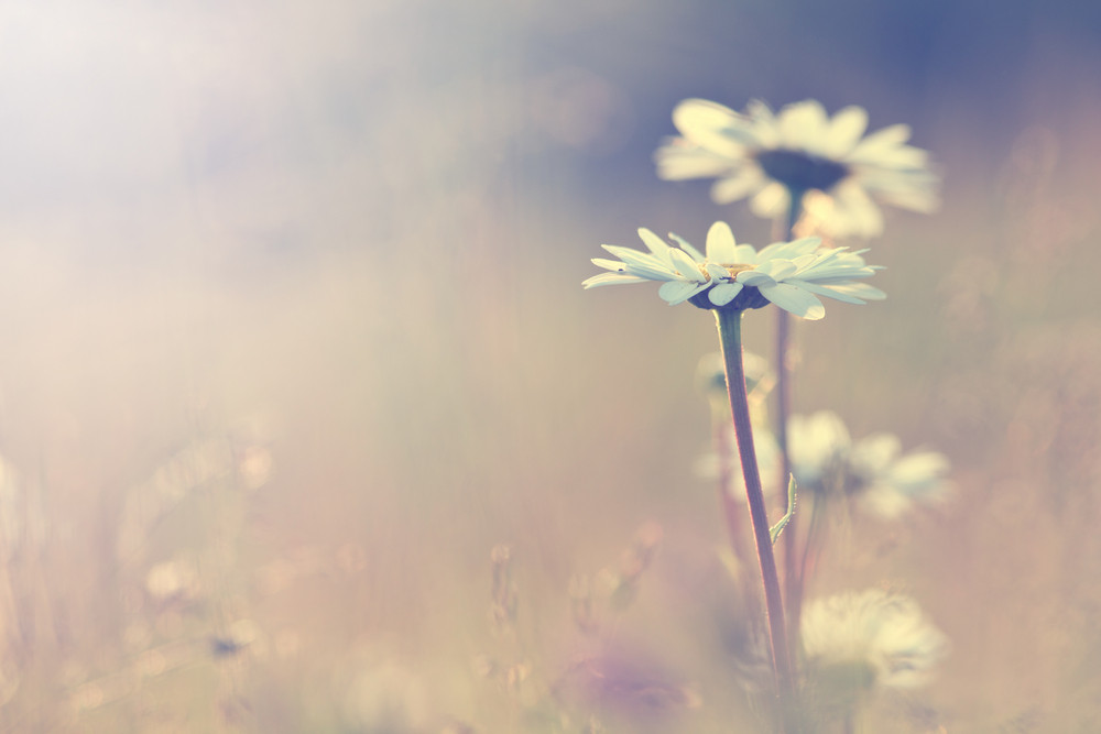 Spring nature. vintage daisy chamomile flowers field at sunrise