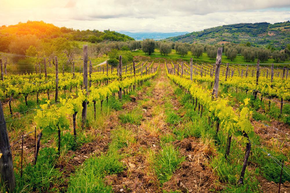 Vineyard in Tuscany, Italy Royalty-Free Stock Image