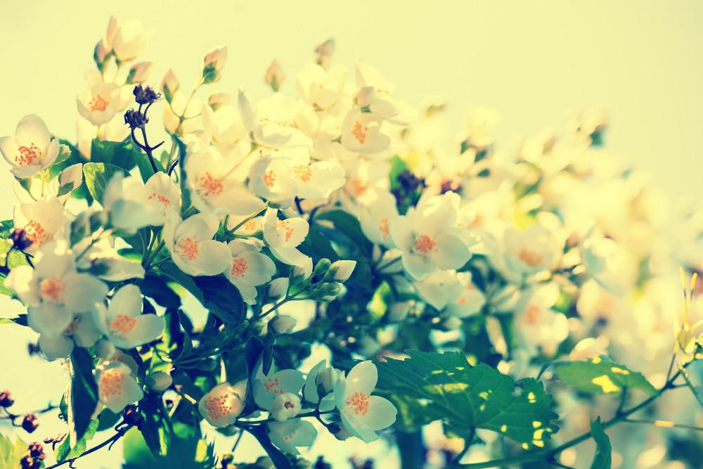 Vintage jasmine flowers in the garden against sky