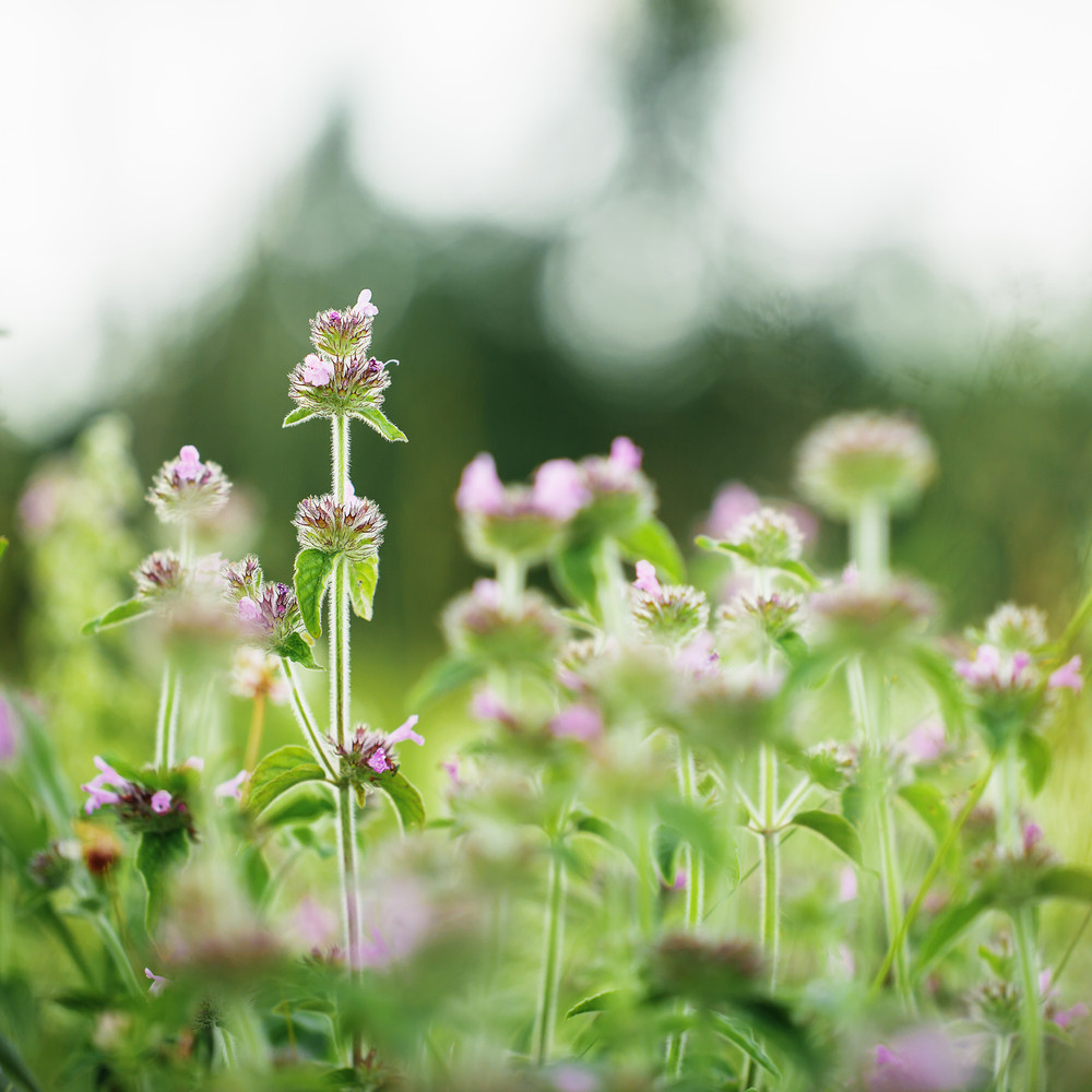 Vintage Meadow Little Soft Pink Flowers In Field Nature Fresh