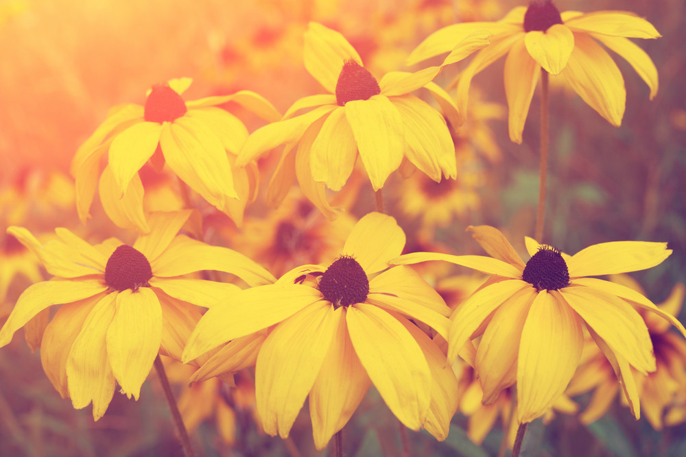Vintage yellow flowers in the garden at sunset light