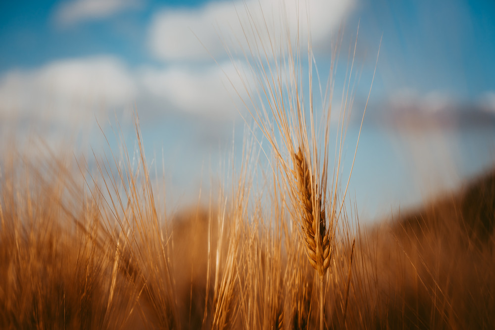 Wheat ear on a field and blue sky with white clouds and trees in background
