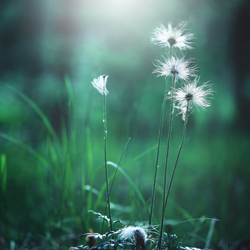 White Big Soft Flowers In Green Grass In Forest Royalty Free Stock