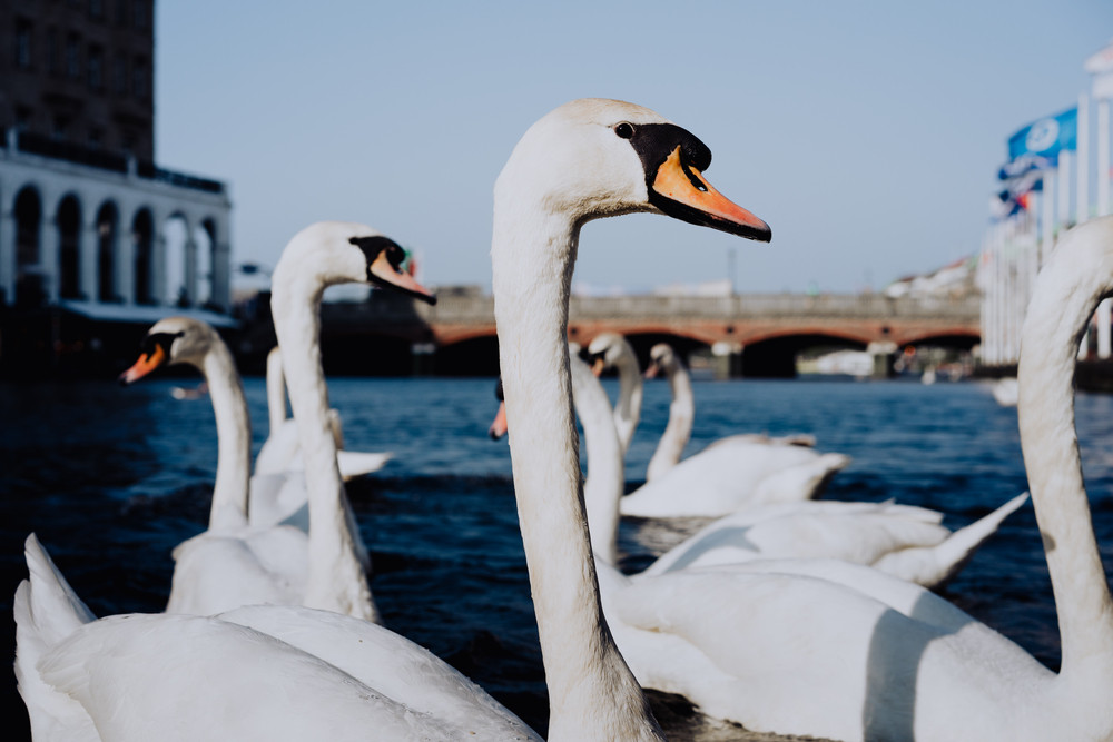 White swans swimming on Alster river canal near city hall in Hamburg