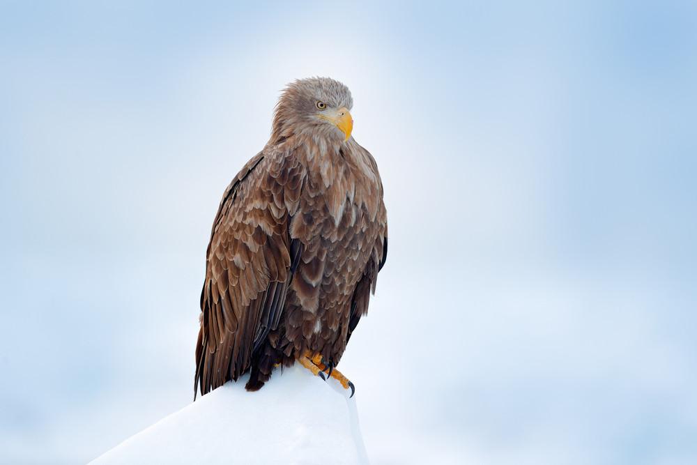 White-tailed eagle, Haliaeetus albicilla, Hokkaido, Japan. Action wildlife scene on ice. Bird in nature sea habitat, snow with ice. Winter scene with bird of prey. Big bird with snow. Wildlife Japan.
