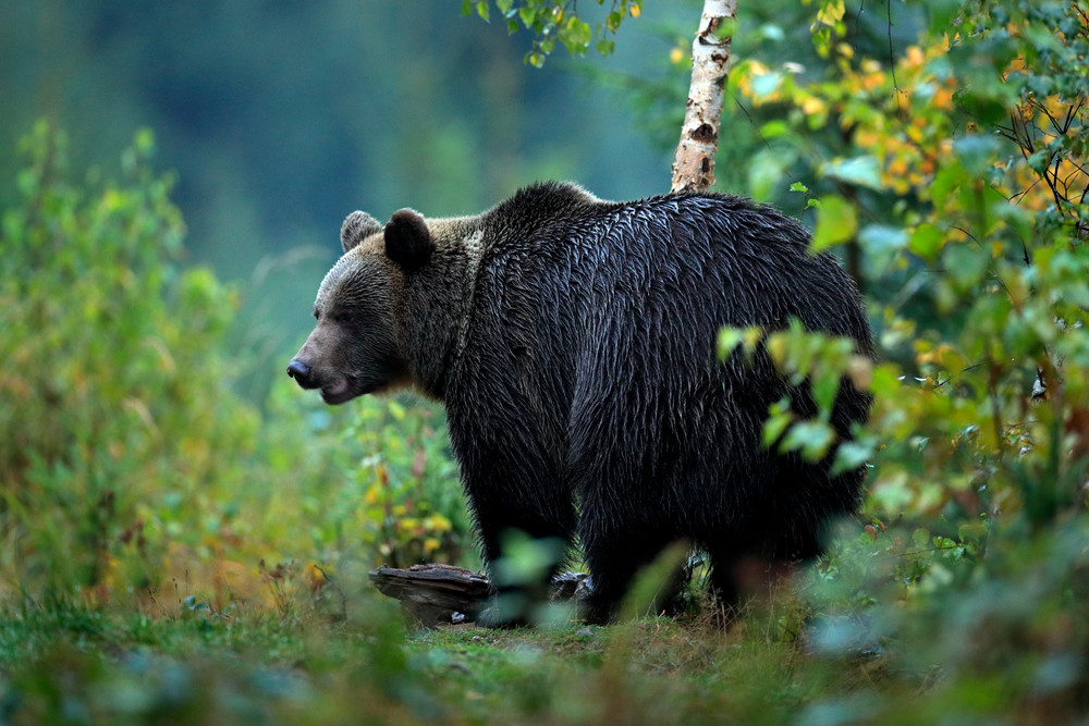Wildlife from Europe. Autumn trees with bear. Brown bear feeding before winter. Slovakia mountain Mala Fatra. Evening in the green forest. Big female, dangers animal, yellow autumn, wood habitat.