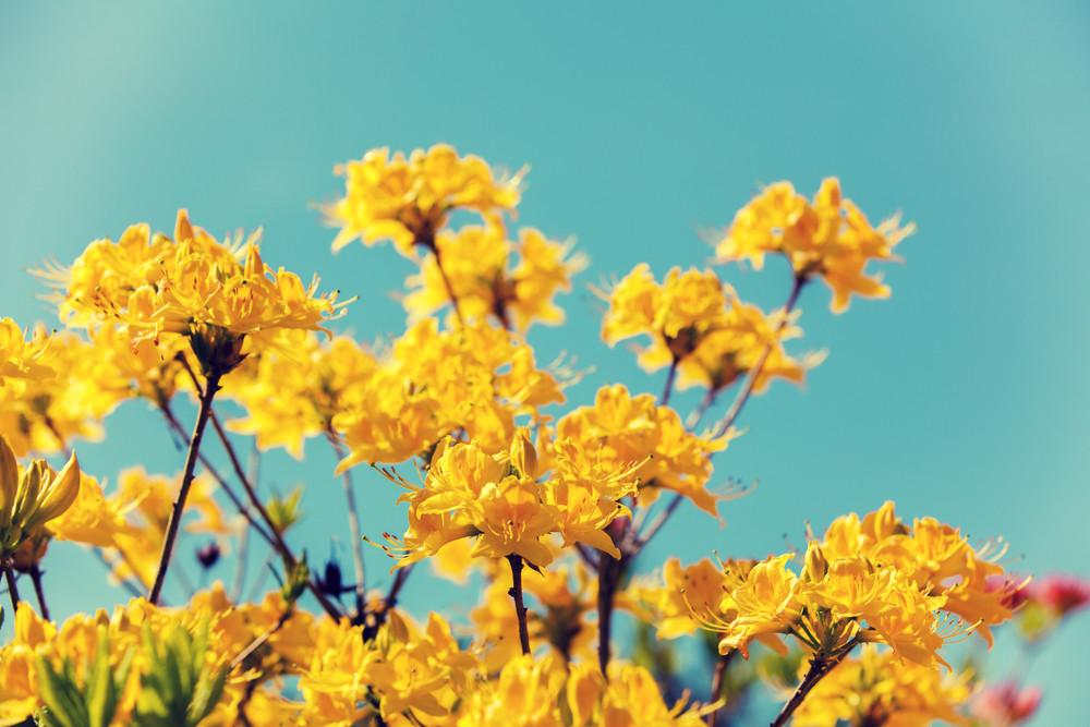 Yellow Azalea flowers in the garden in sunny day against blue sky