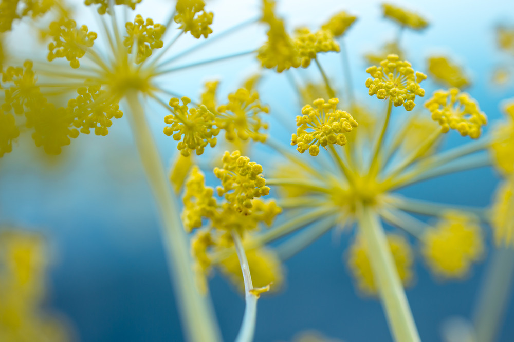 yellow big spring nature flowers on blue background. Wild meadow beautiful plants
