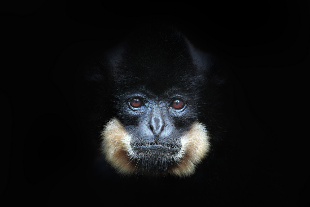 Yellow-cheeked Gibbon, Nomascus gabriellae, detail portrait of wild monkey. Art view of beautiful animal. Dark forest wildlife scene from the nature. Gibbon from  Cat Tien National Park, Vietnam