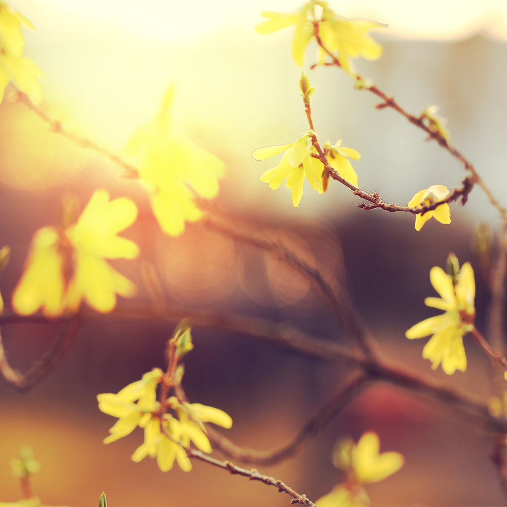 Yellow Flowers On Branches At Sunrise Royalty Free Stock Image