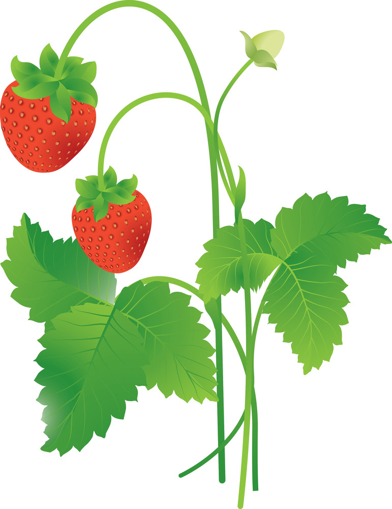 Strawberry. Vector