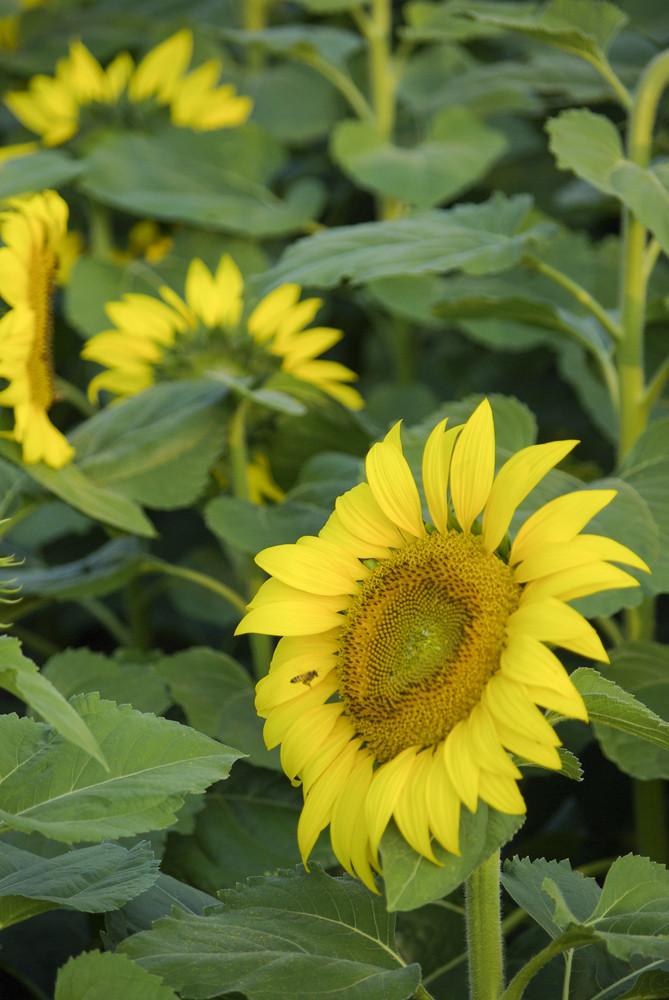 Sun flowers Plant
