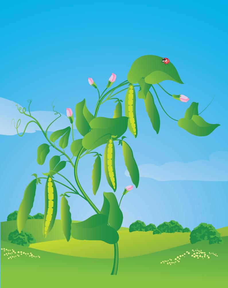 Sweet Peas. Vector Illustration