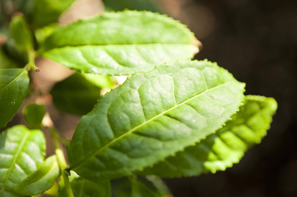 Tea Shrub Camellia Sinensis