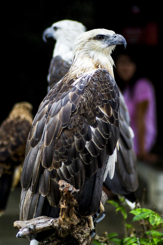 The Eagle in zoo garden