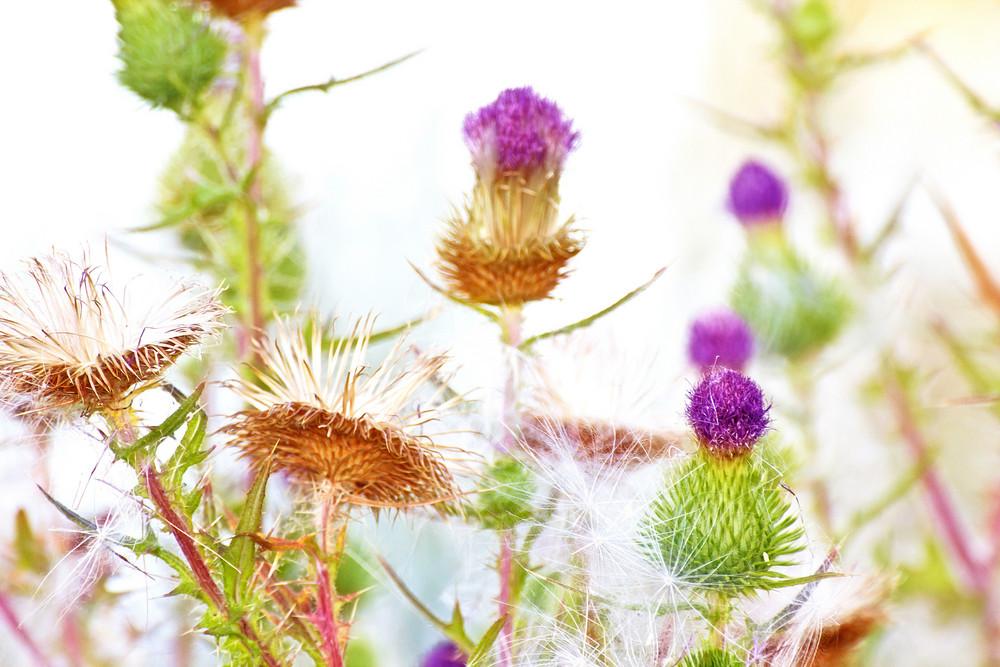 Thistle Flowers