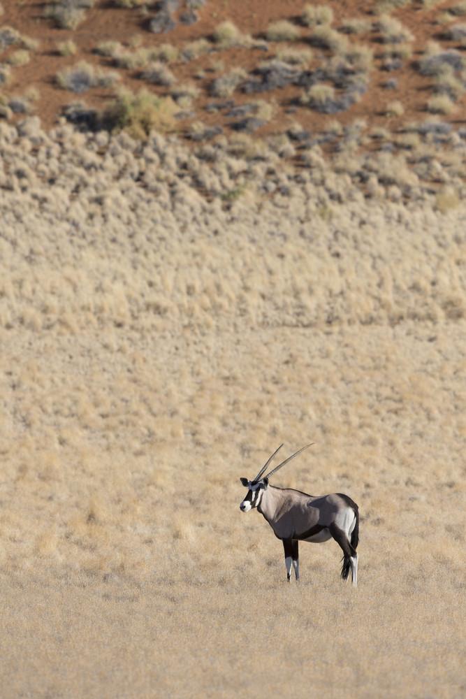 Thomson's gazelle standing on a dry plain