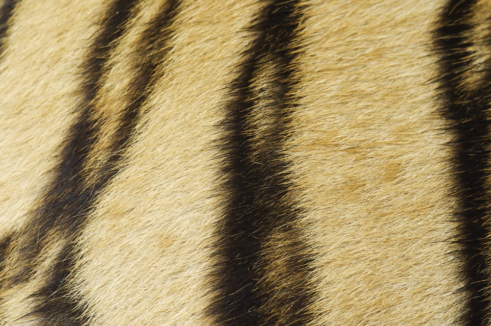 Tiger skin texture and background