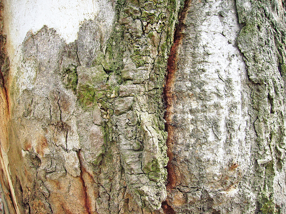 Tree_trunk_surface_texture