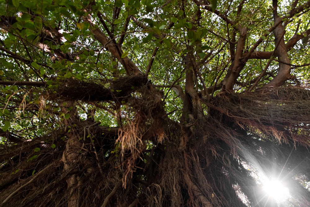 Tropical Caribbean mangrove tree filled with vines.