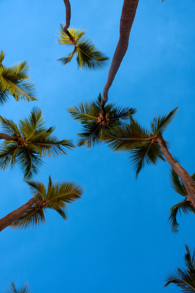 Tropical coconut palm trees over an early evening sky. Slight motion blur on areas of the leaves due to long exposure.