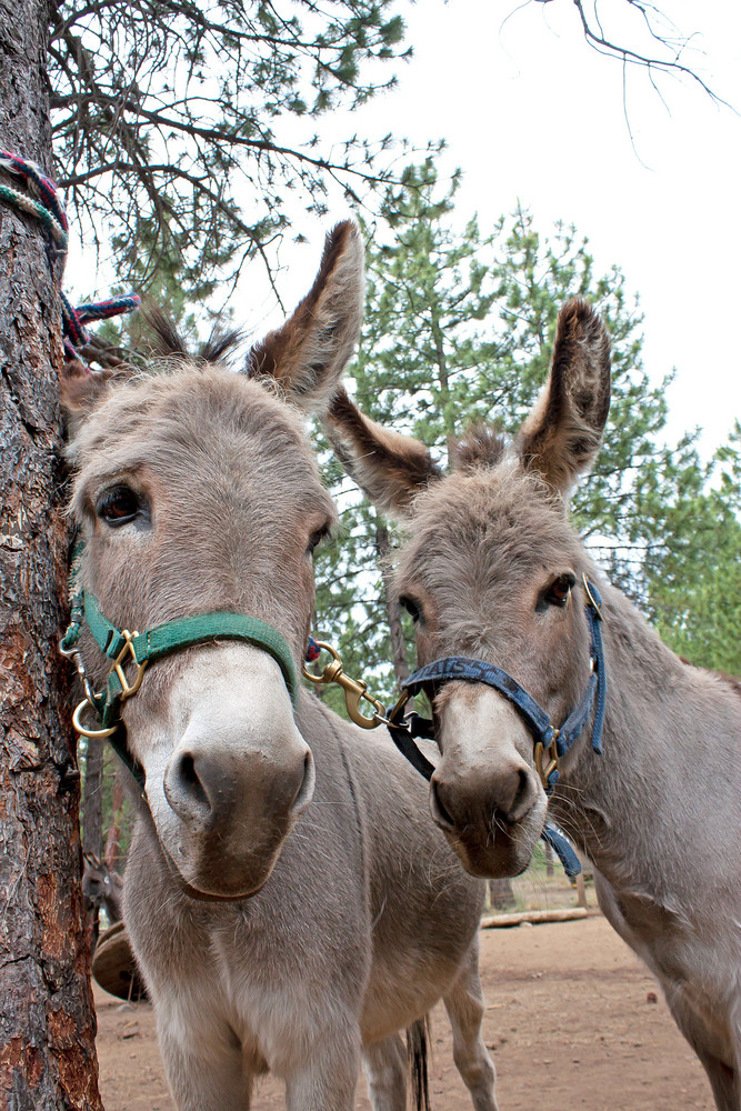 Two Donkeys Faces