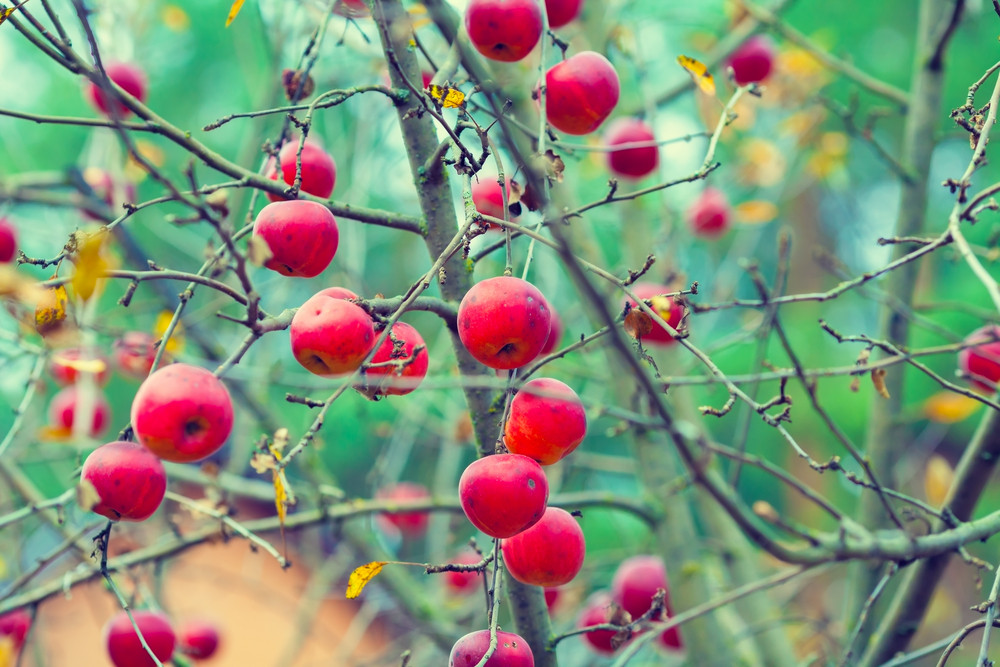 Unharvested red organic apples on a branch