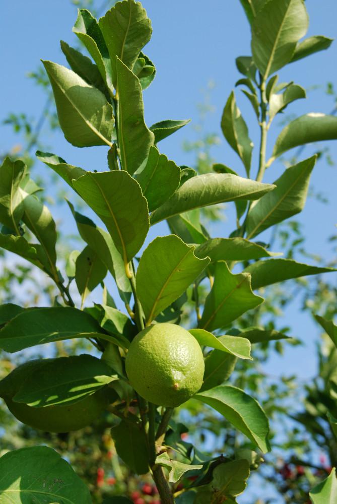 Unripe Lemon