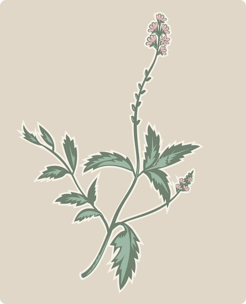 Vervain Or Verbena Flowering Plant
