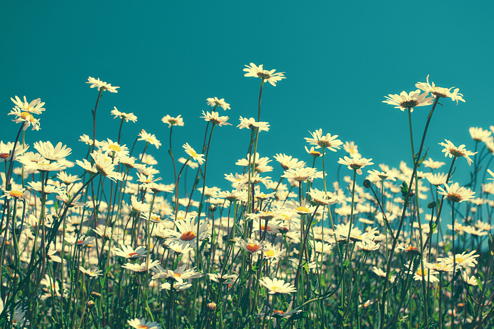 Vintage chamomile flowers against blue sky
