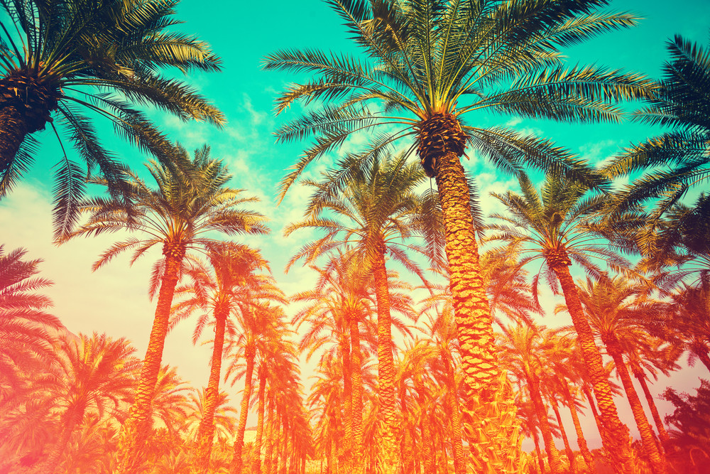 Vintage date palm trees plantation. Gradient colored