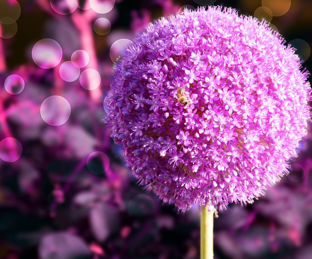 Violet Garlic Flower Background