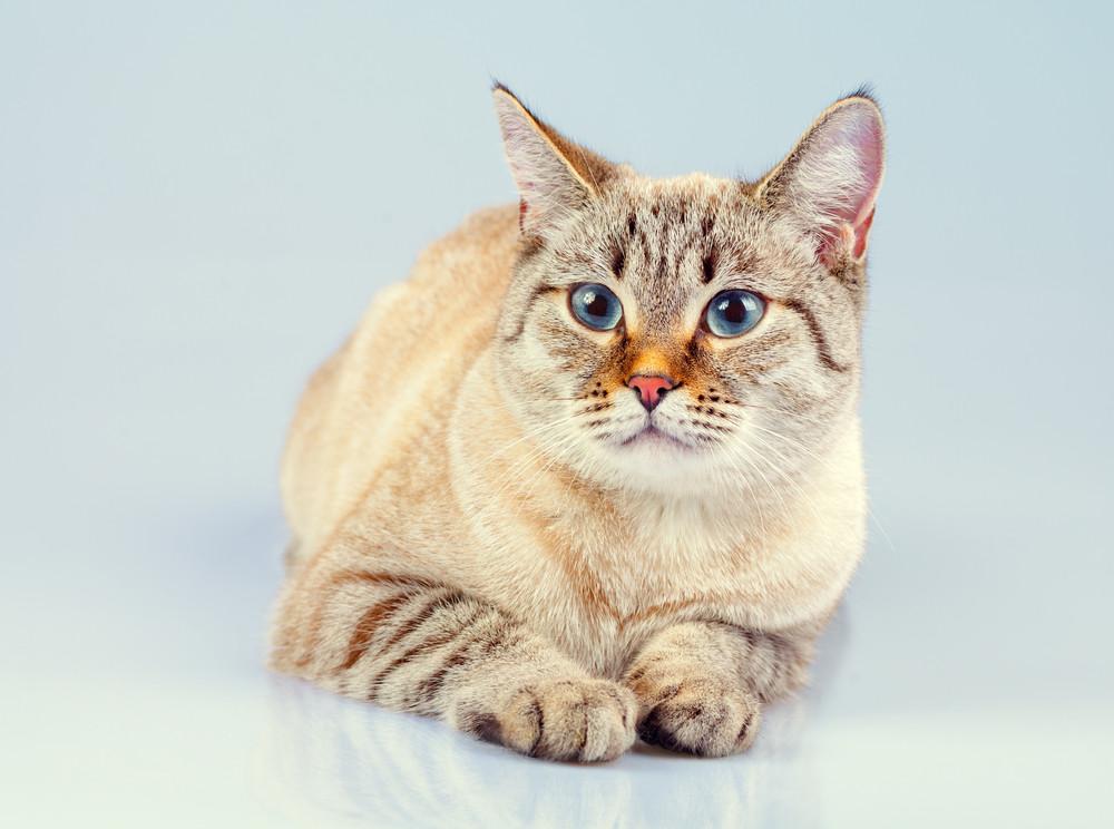 可愛做夢泰國貓