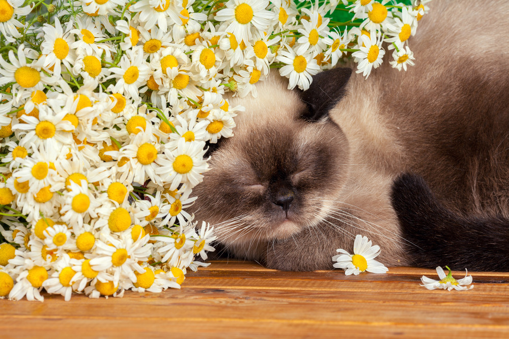 Cute siamese cat sleeping under camomile flowers