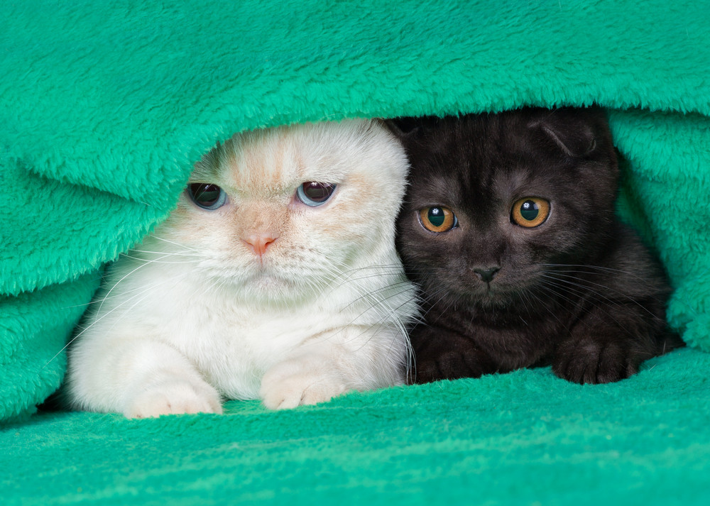 Two cute little kittens peeking out from under the soft warm green blanket