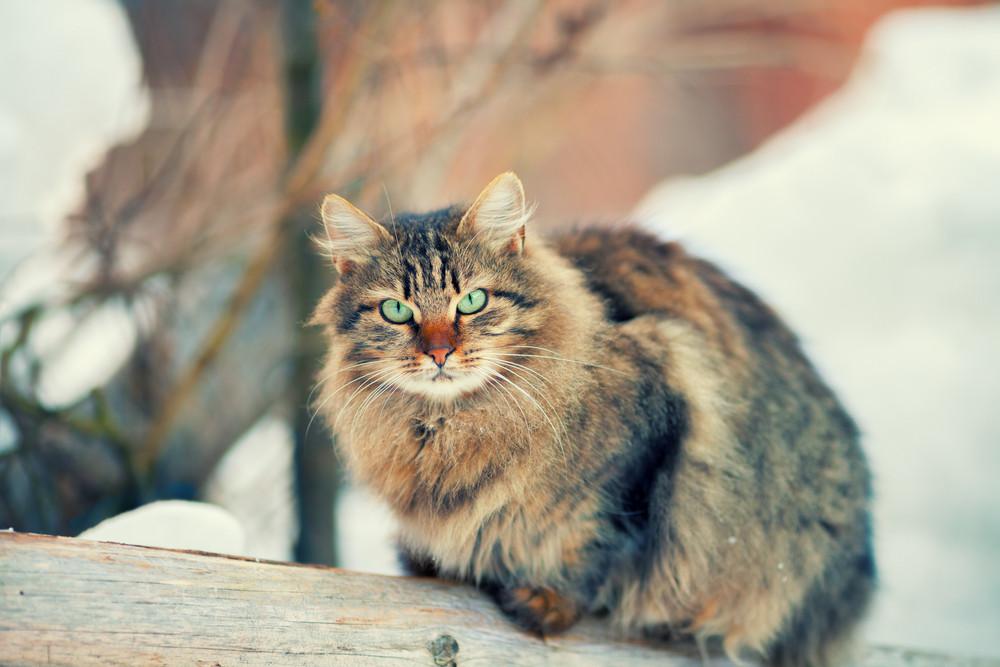 Siberian cat outdoors in winter