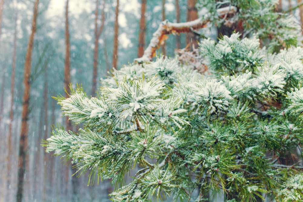 Pine branch in the forest covered with snow
