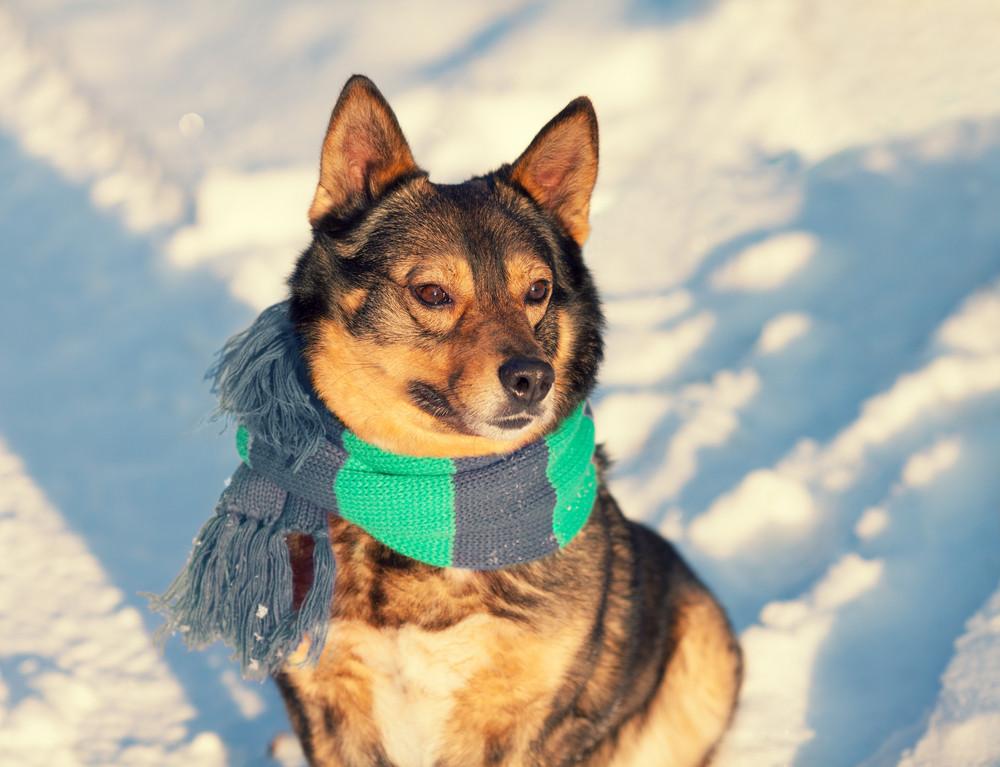 Portrait of dog wearing scarf walking outdoor in winter