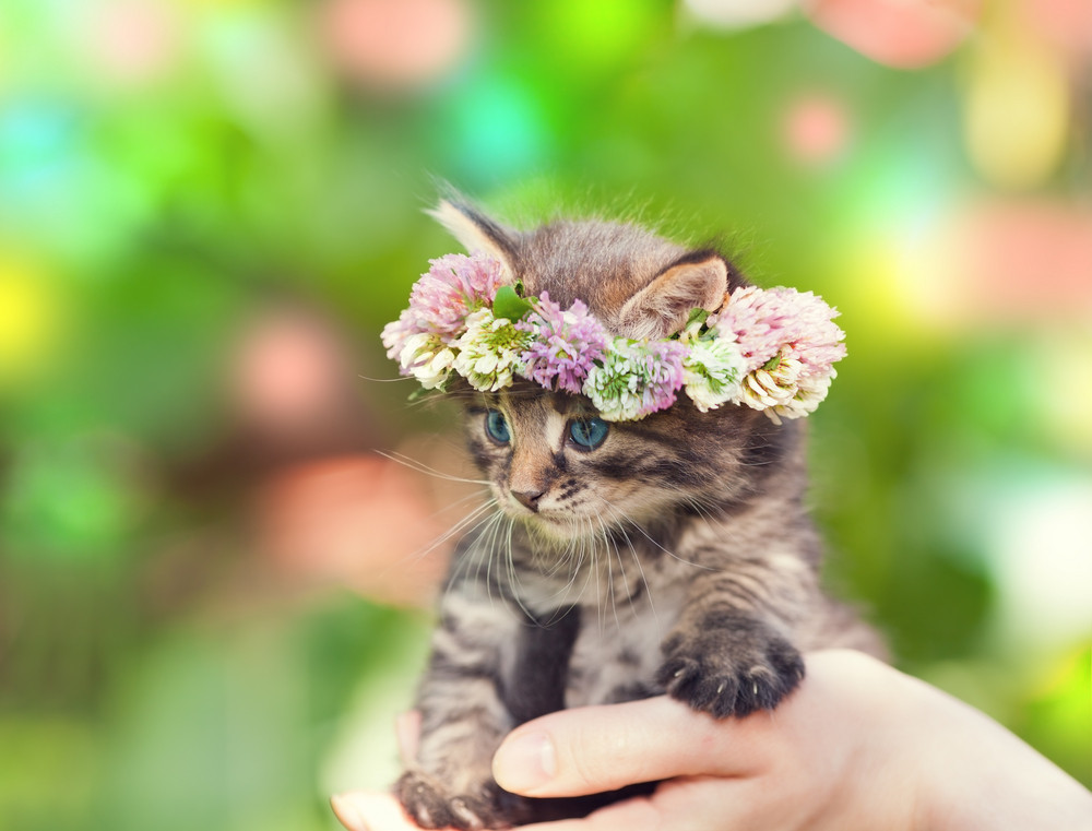 Cute little kitten crowned with a chaplet of clover in female hands
