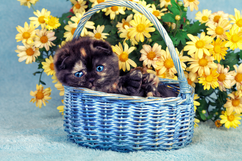 Cute little kitten sitting in a basket near yellow flowers royalty cute little kitten sitting in a basket near yellow flowers mightylinksfo