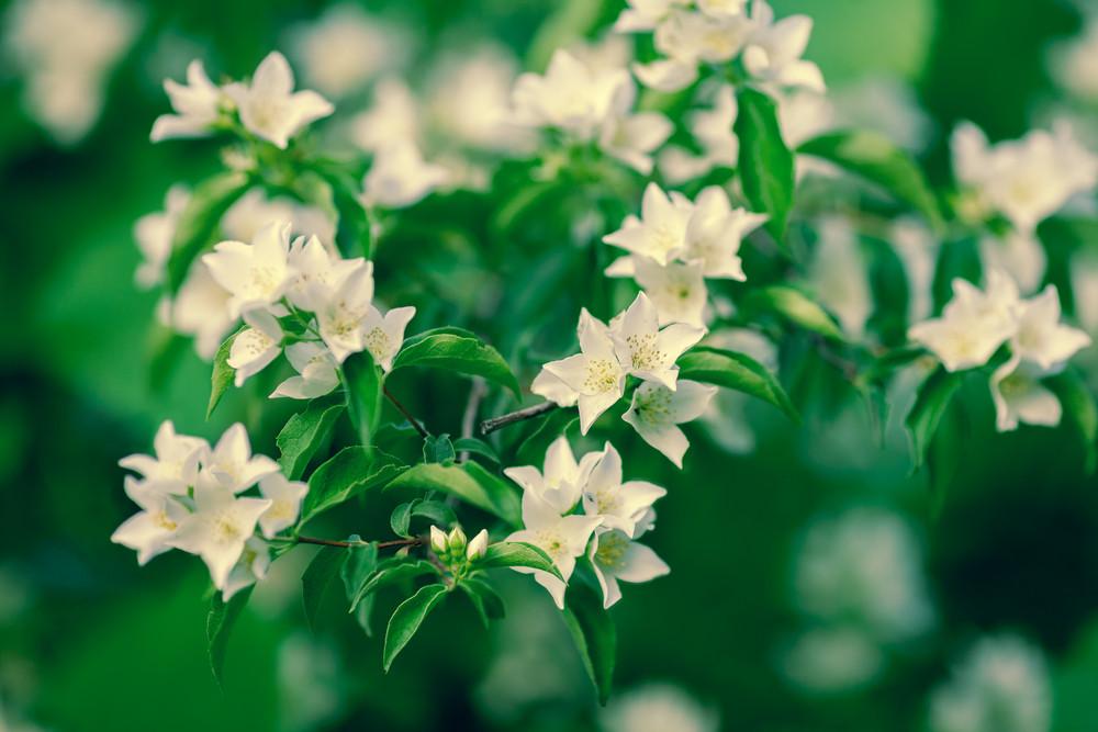 復古朵朵茉莉花