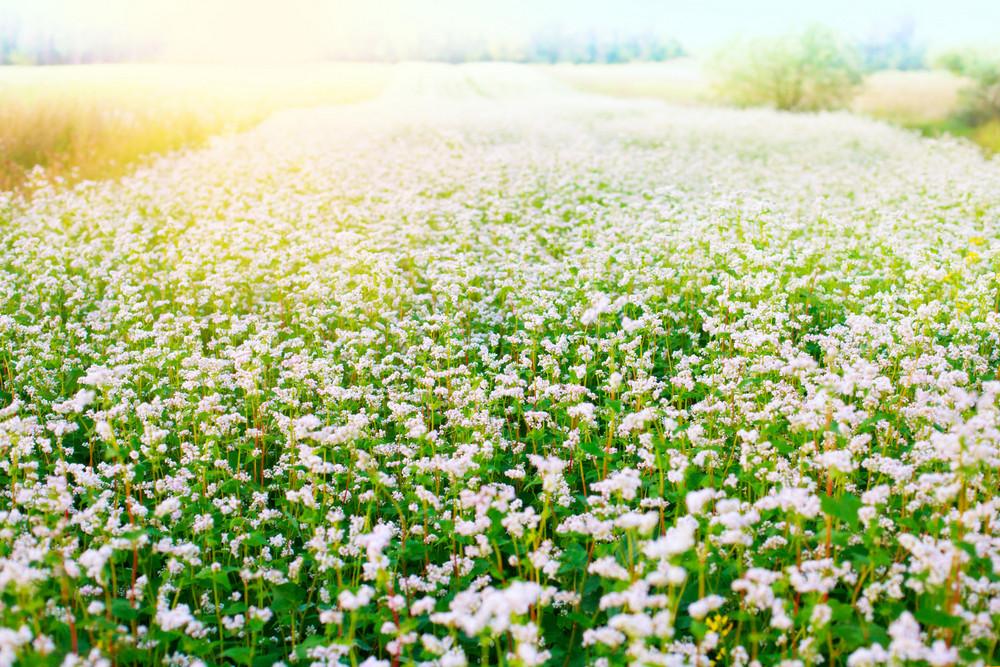 Blossoming buckwheat field in summer